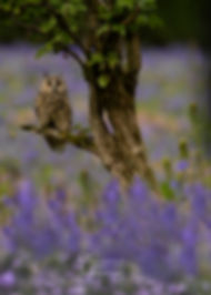 long eared owl in bluebells-9431_edit_WE