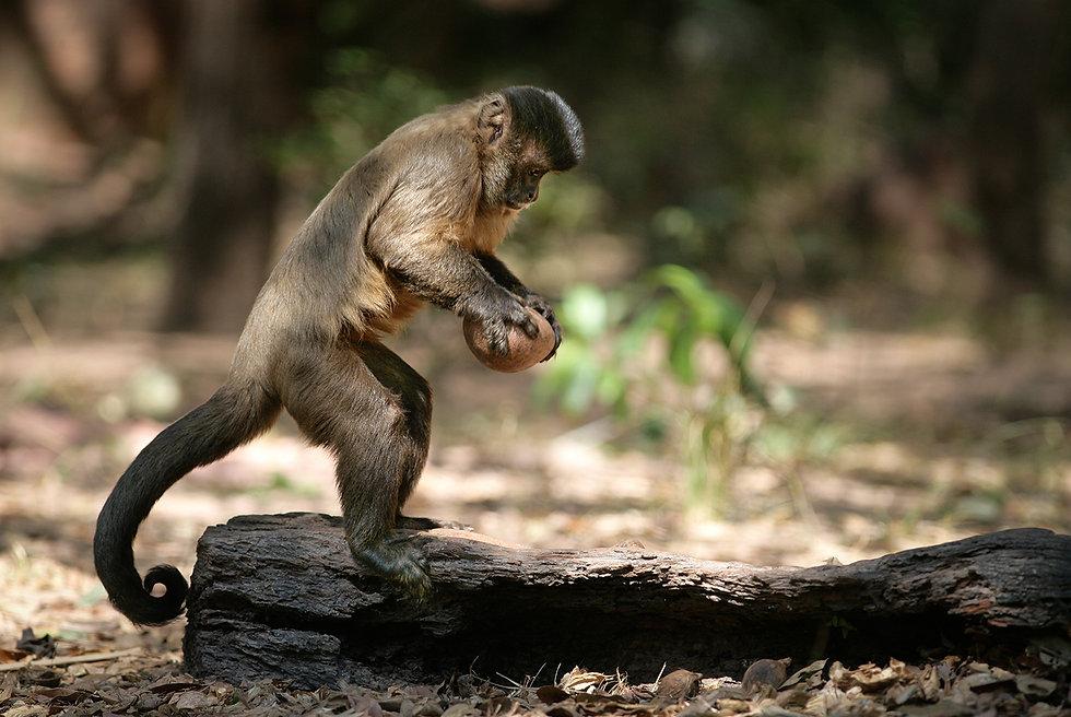 Brazil Photography Safari Trai Anfield Photography capuchin monkey using rock_WEB.JP