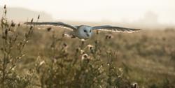 barn owl_DSC9114_WEB.png