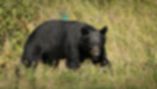 black bear while cycling Anchorage-9957_