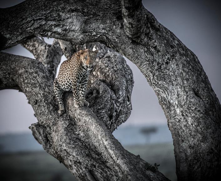 Trai Anfield Photographic Safaris leopard