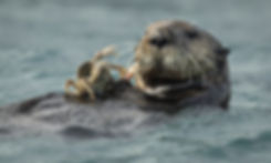 sea otter Seward-6316_WEB.jpg