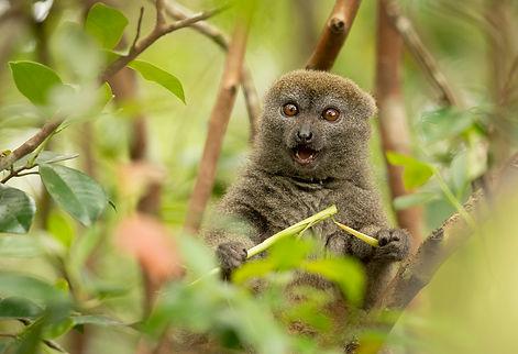 bamboo lemur Madagascar-3214.jpg