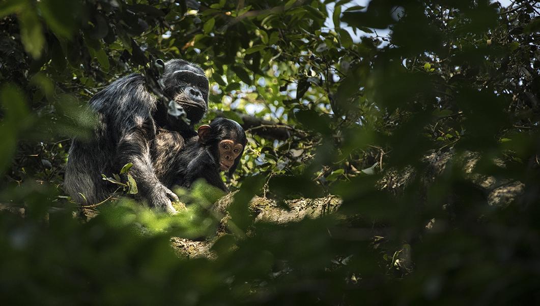 Rwanda 2016 chimps_WEB-0608.jpg