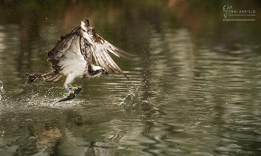 osprey fishing-5745_WEB_WM.jpg