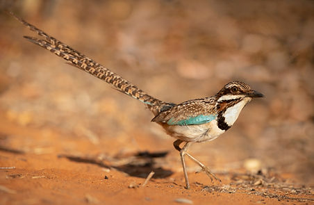 long tailed ground roller Madagascar-985