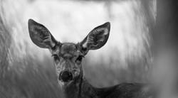 mule deer_DSC0367_edit.jpg