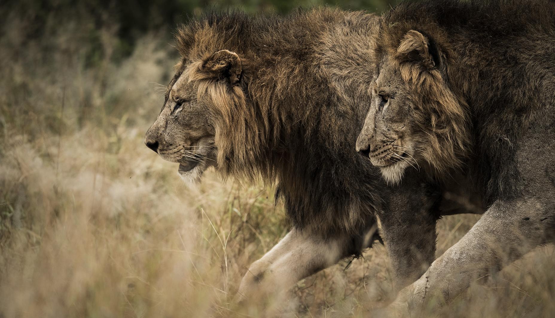 Trai Anfield Photography safaris lions S