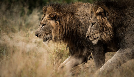 Trai Anfield Photography safaris lions S