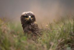 Steppe Eagle calendar-5060.jpg