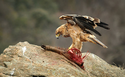 Spain eagle kill_WEB.jpg