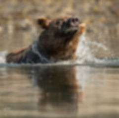 TAPS bear water shaking Katmai-8343_WEB_