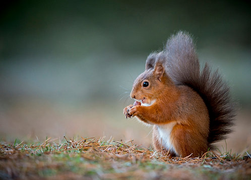 Best of British - Red Squirrel