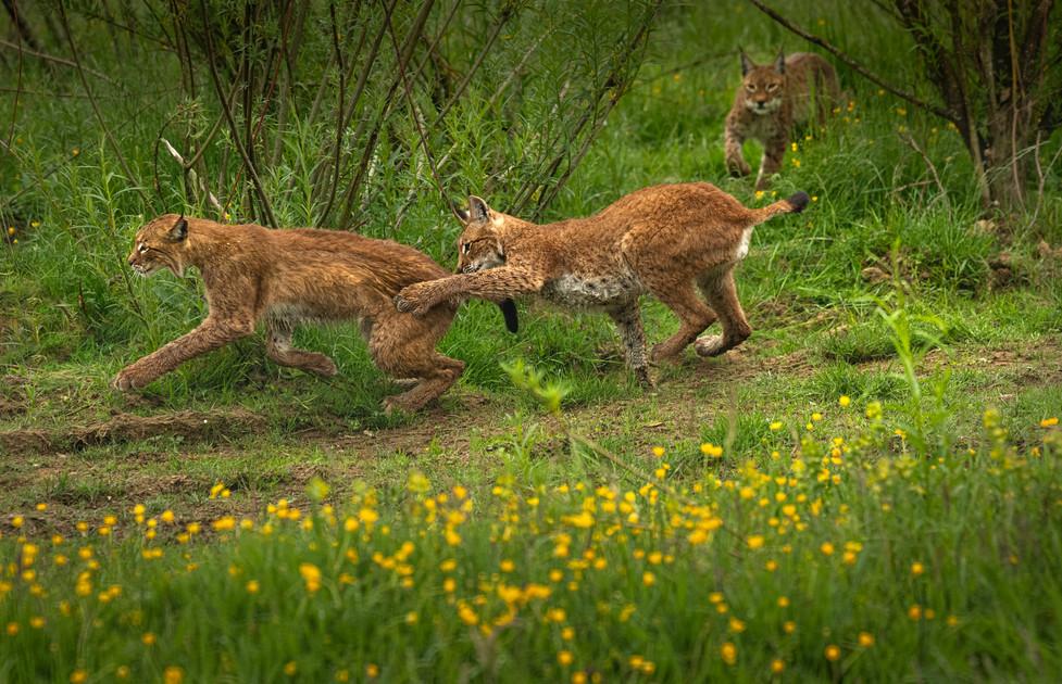 ©Trai Anfield Photography lynx British W