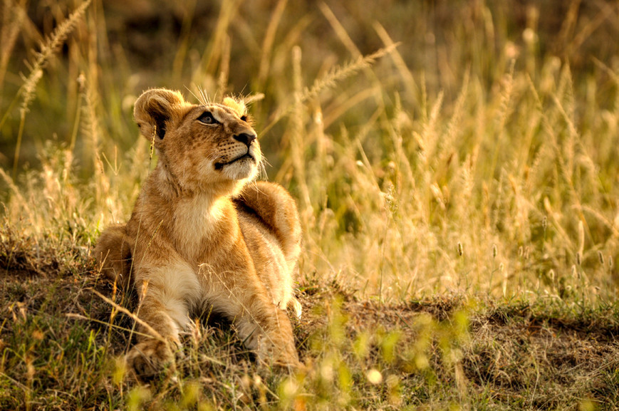 Trai_Anfield_lion cub