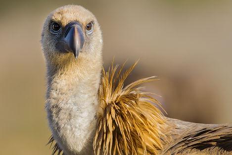 Spain vulture close_WEB.jpg