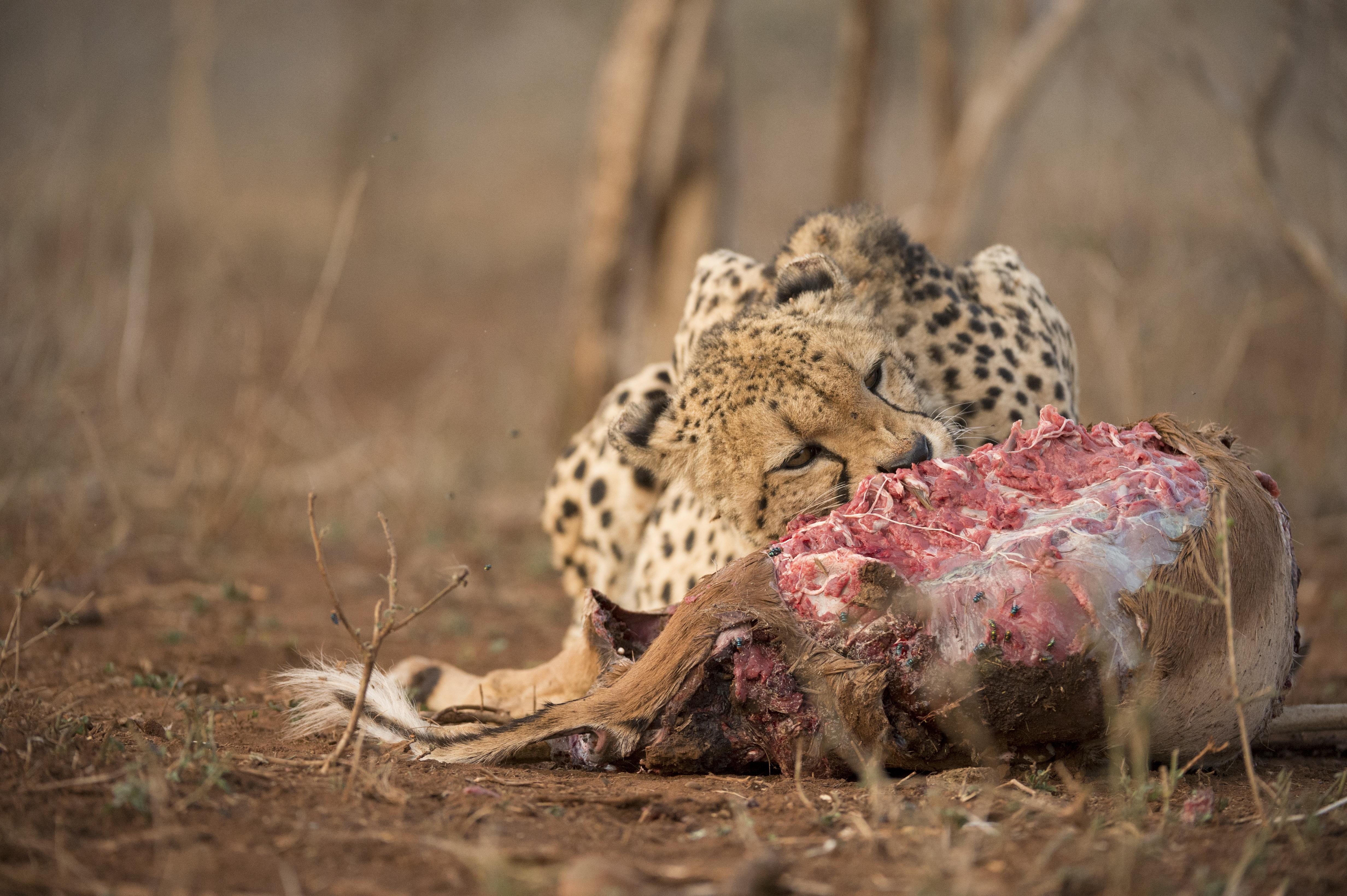 cheetah_dsc2497-2.jpg