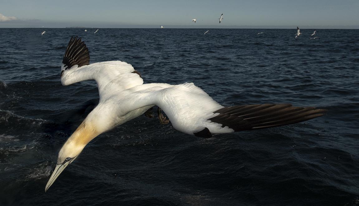 gannets Farnes-8222_WEB crop