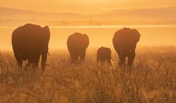 Trai Anfield elephants early light-7756.