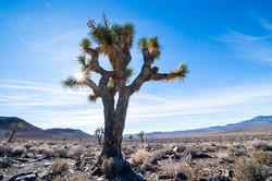 Joshua tree Death Valley-7551