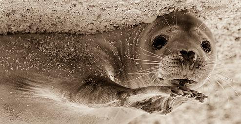 Farne Islands seal pup