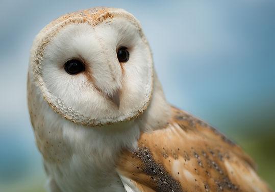 luna the barn owl-trai anfield-www.hawks