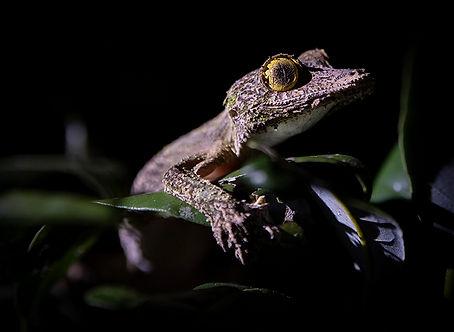 standing leaf? gecko Madagascar-3837.jpg