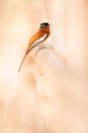 paradise fly catcher rufous Madagascar-9