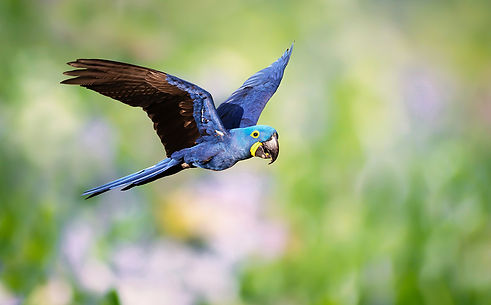 Brazil Photography Safari Trai Anfield Photography hyacinth macaw