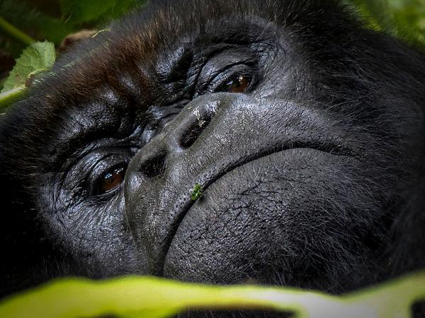 Gorilla, Rwanda by guest Christina gates