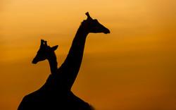 Trai Anfield giaffes sunrise Mara North_