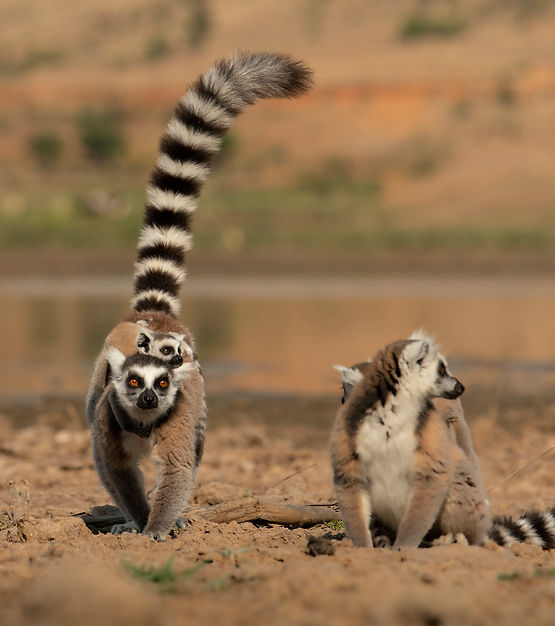 Madagascar Wildlife Photography Safari Trai Anfield ringtailed lemurs5869.jpg