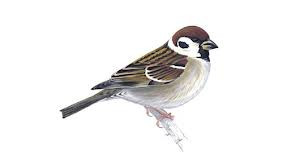 The tale of the tormented tree sparrow