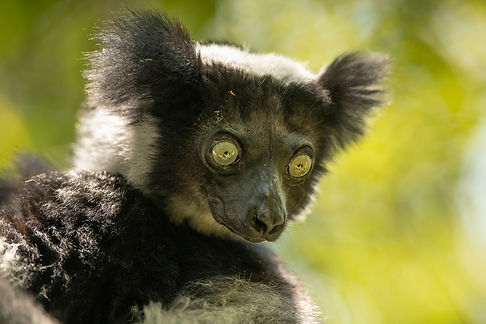 indri? Madagascar-0172.jpg
