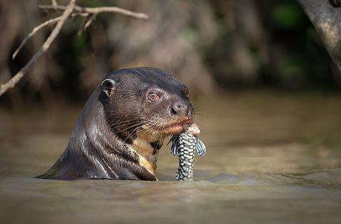 Brazil Photography Safari Trai Anfield Photography giant river otter with fish_WEB.J