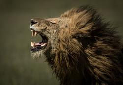 Trai Anfield Photography_lion flemin res