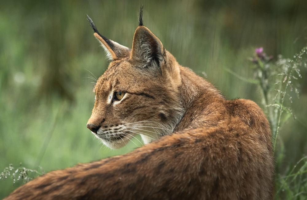 British Wildlife Photography Workshop | lynx | portrait | Trai Anfield