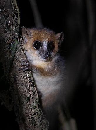 mouse lemur Madagascar-0749.jpg