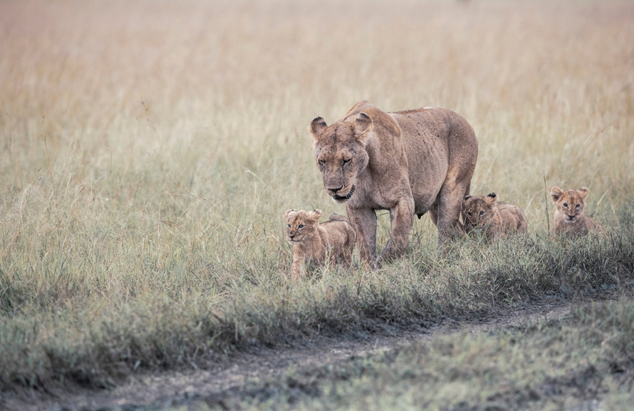 Trai Anfield lioness & cubs on the move-