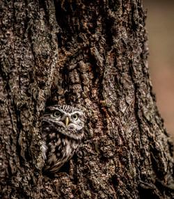 tatra bop little owl edit_dsc5724.jpg