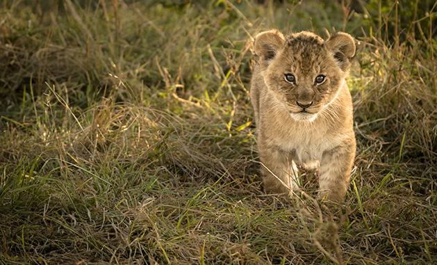 Serian Serengeti lion cub v2-6781_WEB.jpg