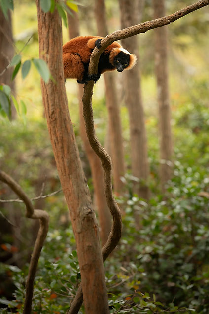 red ruffed lemur Madagascar-2886.jpg