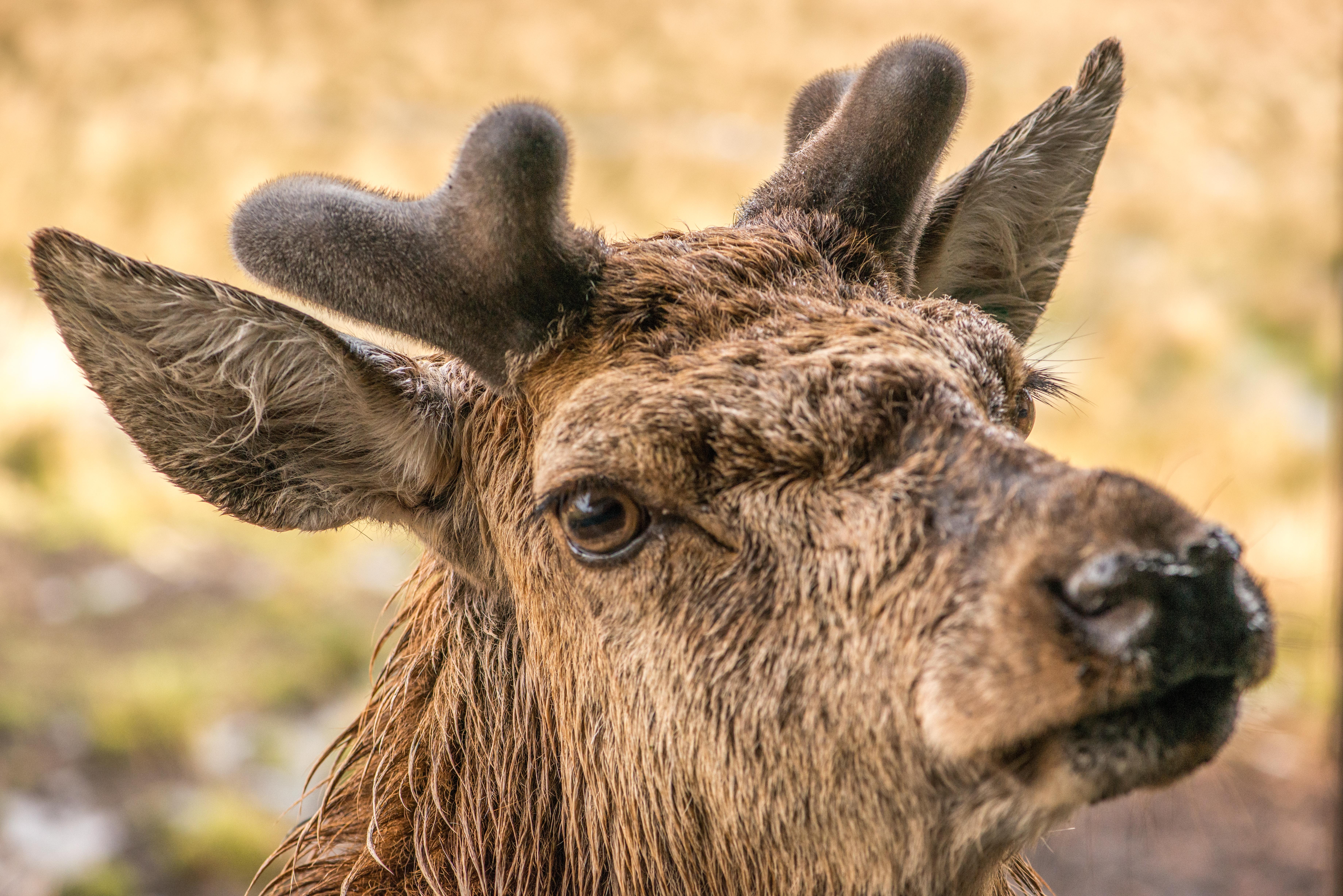 Red Deer close up-6340[1].jpg
