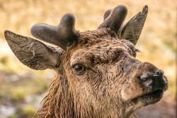 Red Deer close up-6340[1].jpg