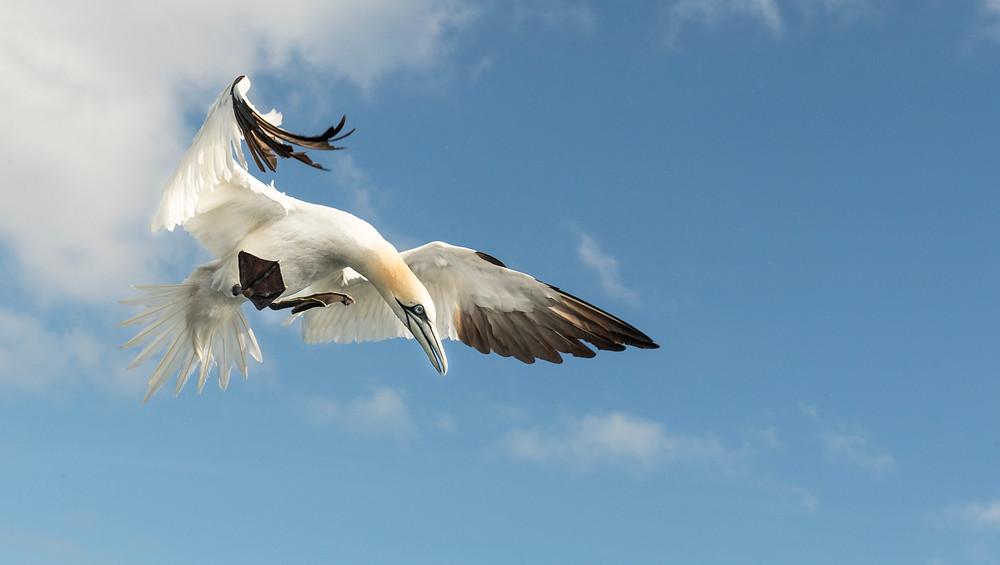 UK wildlife photography safari   gannet diving   Trai Anfield Photography Safaris