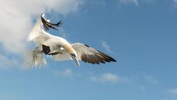 gannets Farnes_WEB-9227