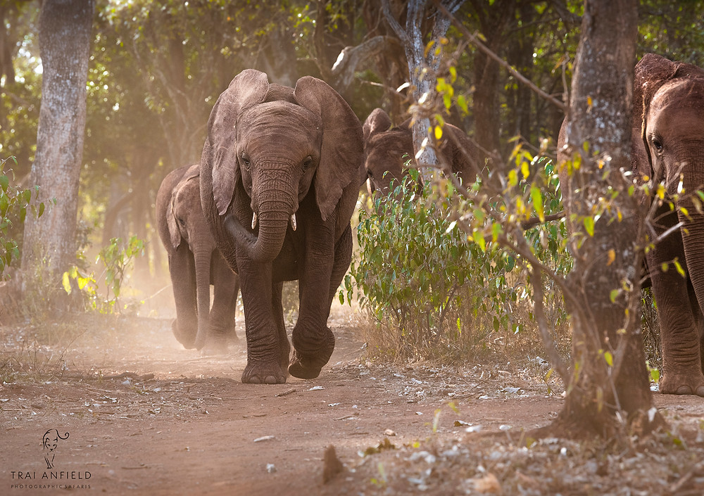 young elephants return from the forest each night