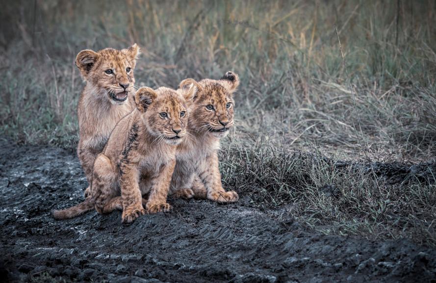 Trai Anfield muddy lion cubs-4201.jpg