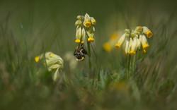 bee on cowslip_WEB-7076
