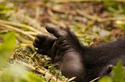 DSC_1221Mountain Gorilla, Rwanda, Volcanoes National Park.jpg